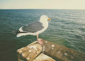 Michael Shirley - Seagull